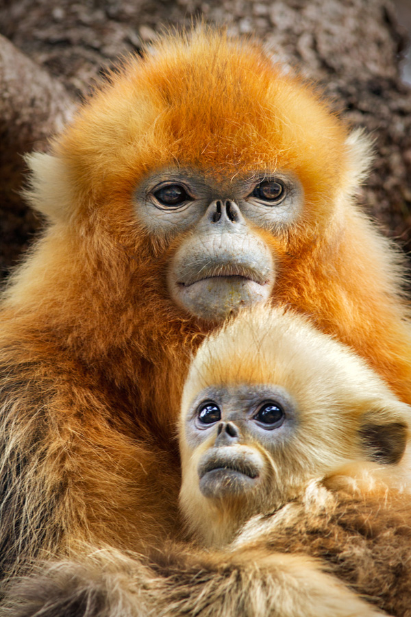 Character: TaoTao with his mom - Golden snub-nosed monkeys