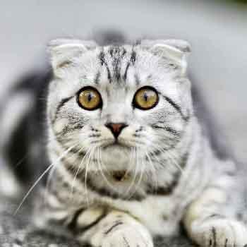 常見的品種貓介紹 - 愛貓誌