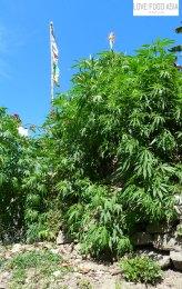 Riesige Marihuana Pflanze