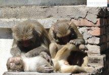 Affen in Kathmandu