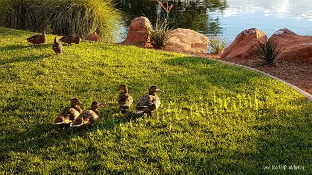 ducks at Entrada