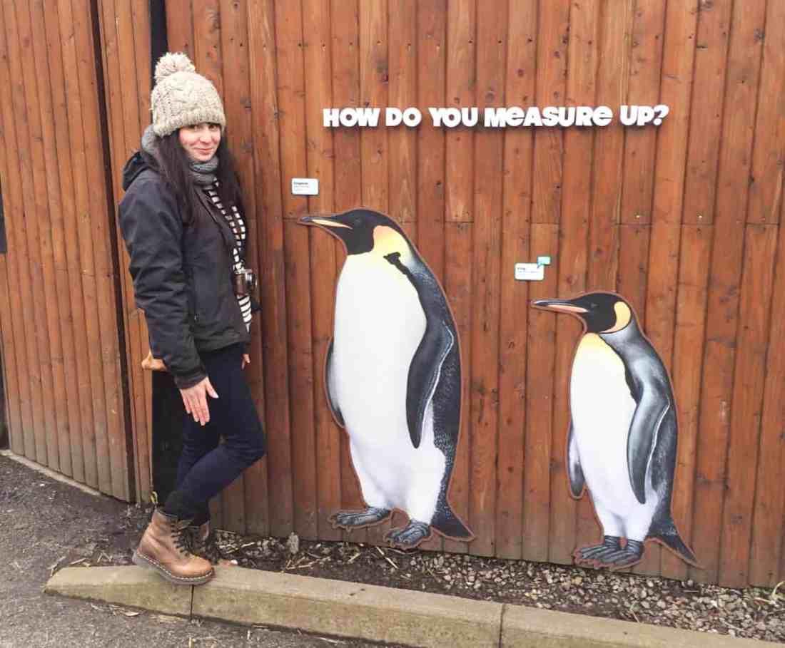 How do you measure up penguins