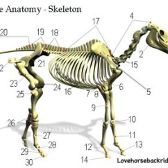 Horse Skeleton Diagram Labeled Vauxhall Vectra B Wiring Equine Skeletal Anatomy Bones Structure And Function