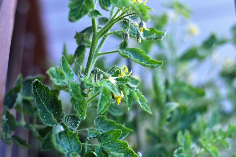 controlling whitefly