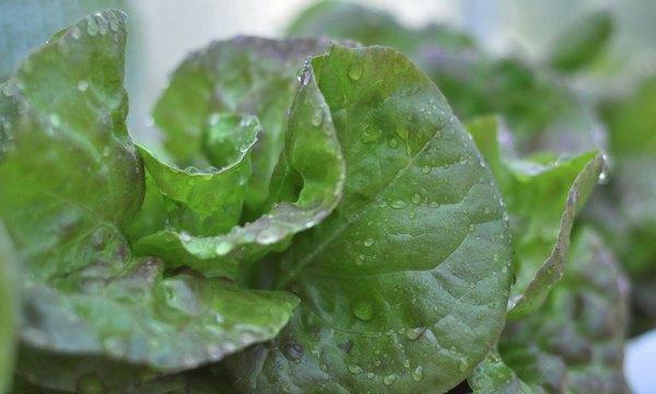 Lettuce in abundance