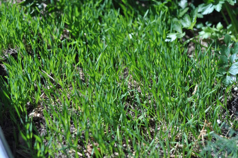 Wheat Green Manure Crop