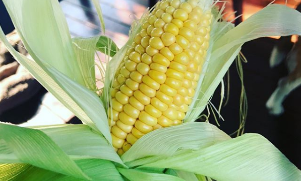 Corn grown in Aquaponics