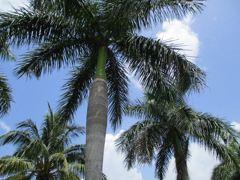 Looking up at palm trees, standing underneath. Blue Florida sky, interrupted by a few beautiful white clouds