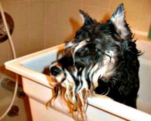 bathing a miniature schnauzer