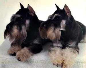 miniature-schnauzer-dog-puppies 10