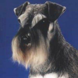 Correct Natural Miniature Schnauzer Ears