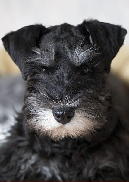 Black And Silver Miniature Schnauzer Puppies For Sale