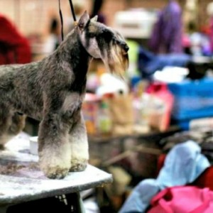 This Miniature Schnauzer is almost ready for show