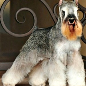 A Salt and Pepper Miniature Schnauzer all decked out