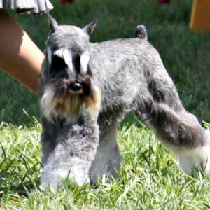 A Salt and Pepper Miniature Schnauzer in the ring showing