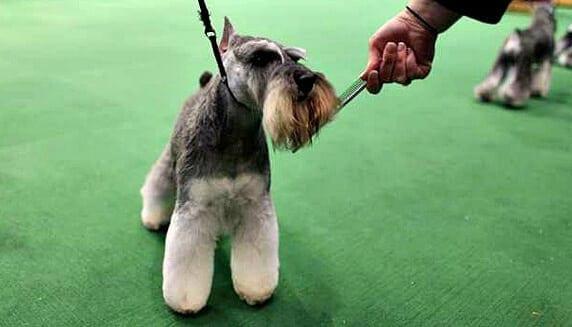 Miniature Schnauzer at an AKC Dog Show