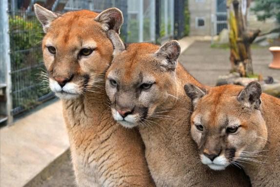 Cougar Mt Zoo