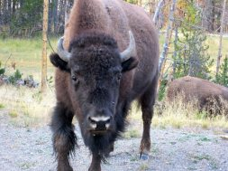 Bison Backcountry Animal Attacks
