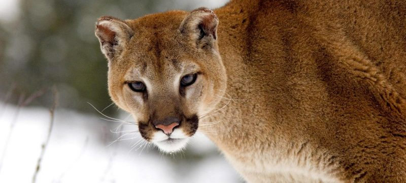 Cougar Backcountry Animal Attacks