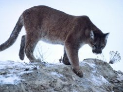 What to Do If You are Being Chased by a Mountain Lion