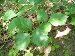 Poison ivy, hiking, skin, backpacking