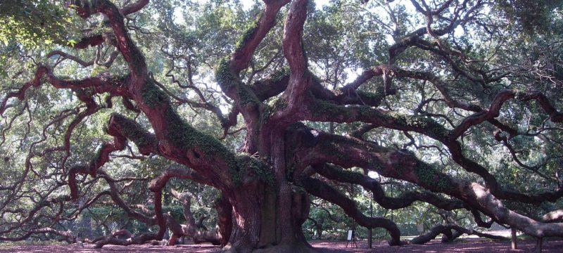 oak tree, tree, trees