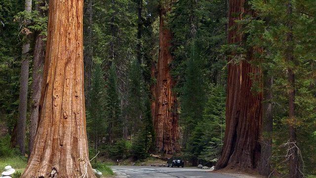 sequoia trees, tree