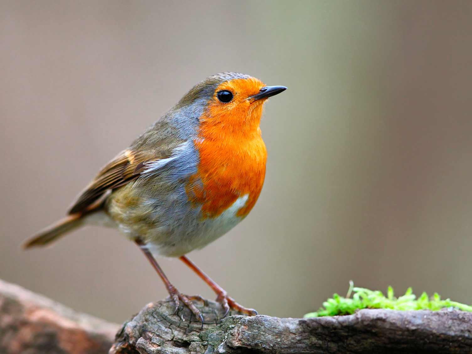 19 Common British Birds In Your Garden
