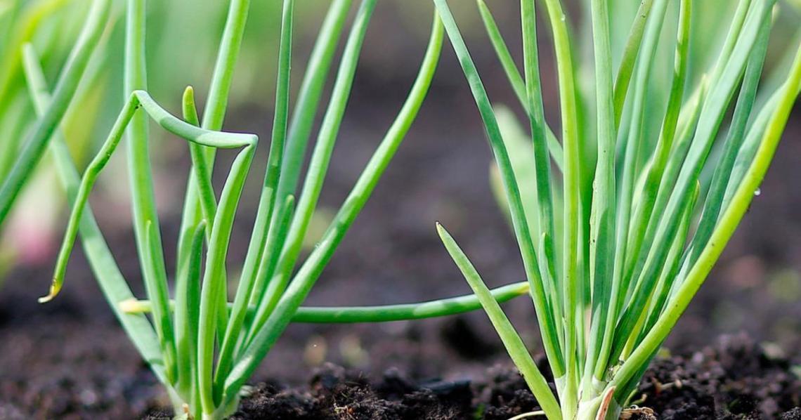 How To Use Bone Meal Fertiliser For Plants Love The Garden