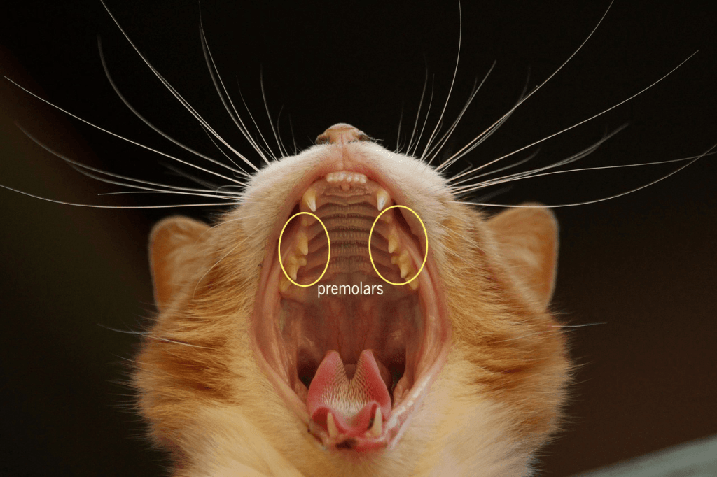 When a kitten's premolars start to emerge, the kitten may be ready to wean onto solid food.