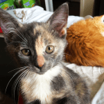 A dilute calico kitten with cream and blue fur