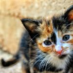 A calico kitten with both orange and black fur