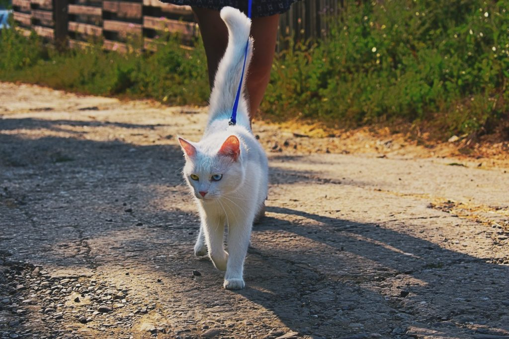 A white, odd-eyed cat walks outside on a leash toward the camera with a person behind her. The cat is looking down to the side with one yellow eye and one blue eye.