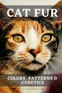 Read more about the article Cat Fur Patterns, Unusual Colors & Genetics