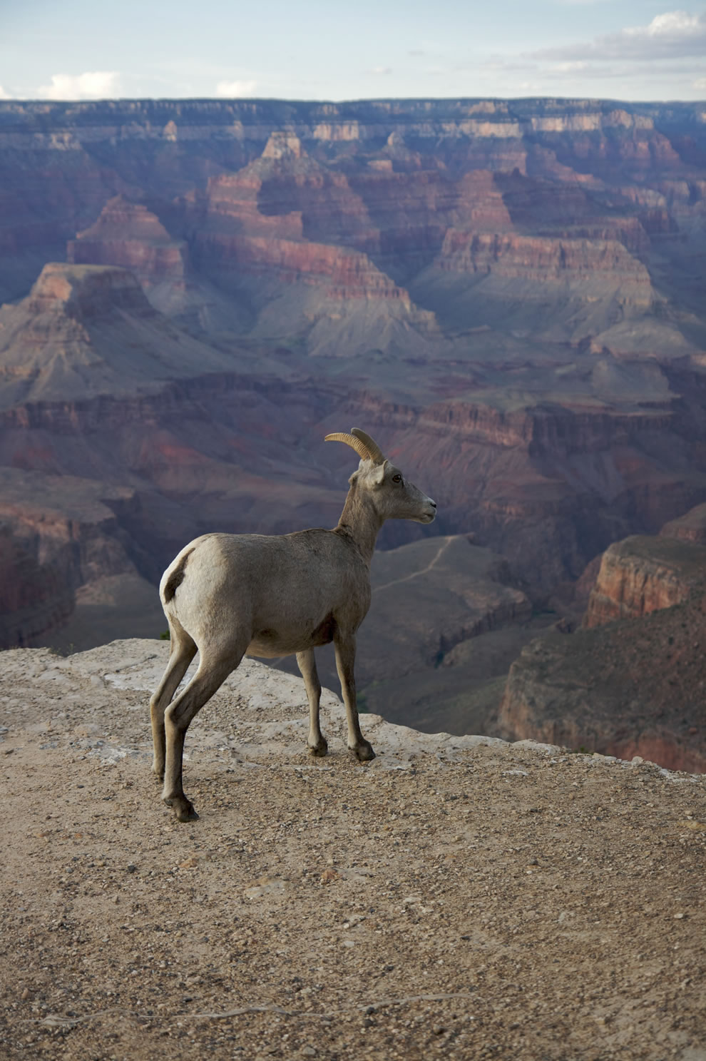 Mountain-goat-Bighorn-Grand-Canyon.jpg