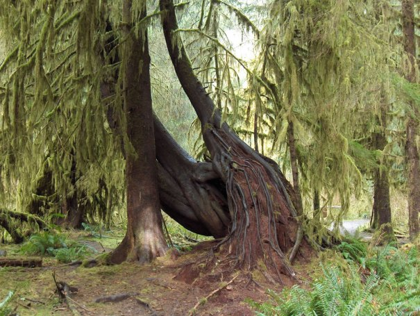Olympic National Park trees and roots in Hoh Rain Forest