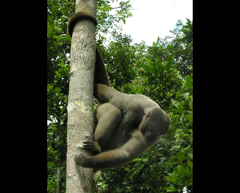 Brown Woolly Monkey in the Amazon