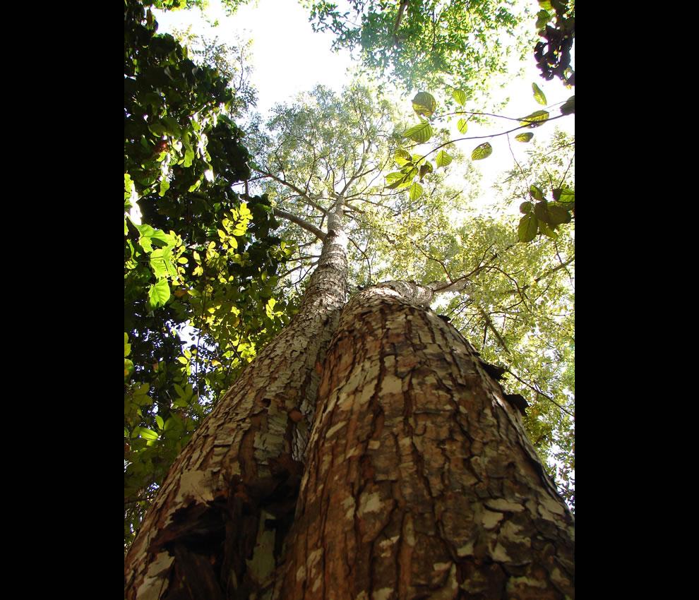 Looking up in Amazon rainforest - Árvore Mogno