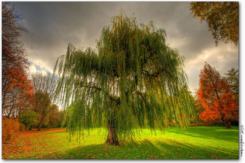 https://i0.wp.com/www.lovethesepics.com/wp-content/uploads/2011/10/Weeping-Willow-during-the-fall-in-Germany.jpg