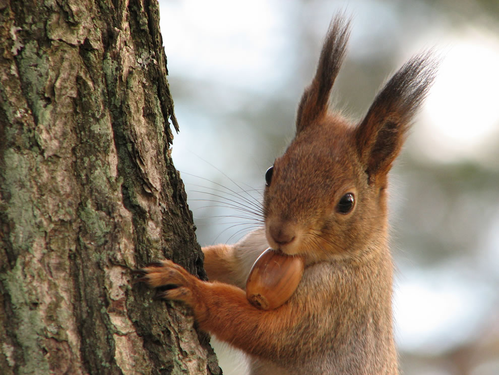 Image result for squirrel with acorn