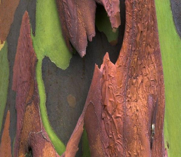 Fun Living Rainbow Eucalyptus