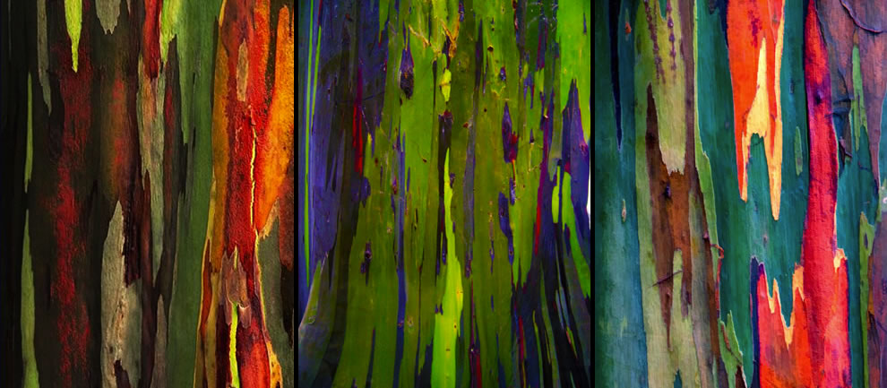 Flaking bark from 3 different rainbow eucalyptus trees