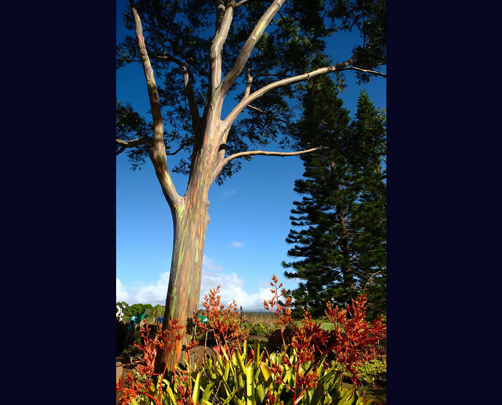 Flowers and another terrific rainbow tree, Eucalyptus deglupt, a in Hawaii