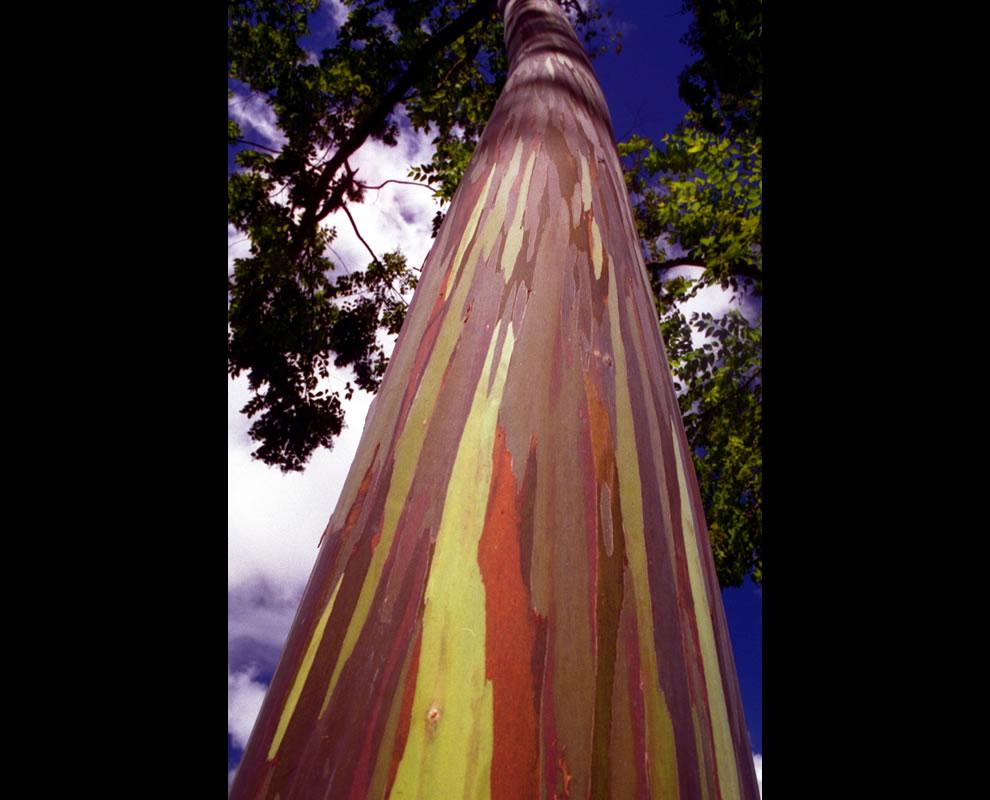 Striped rainbow bark of Rainbow Eucalyptus