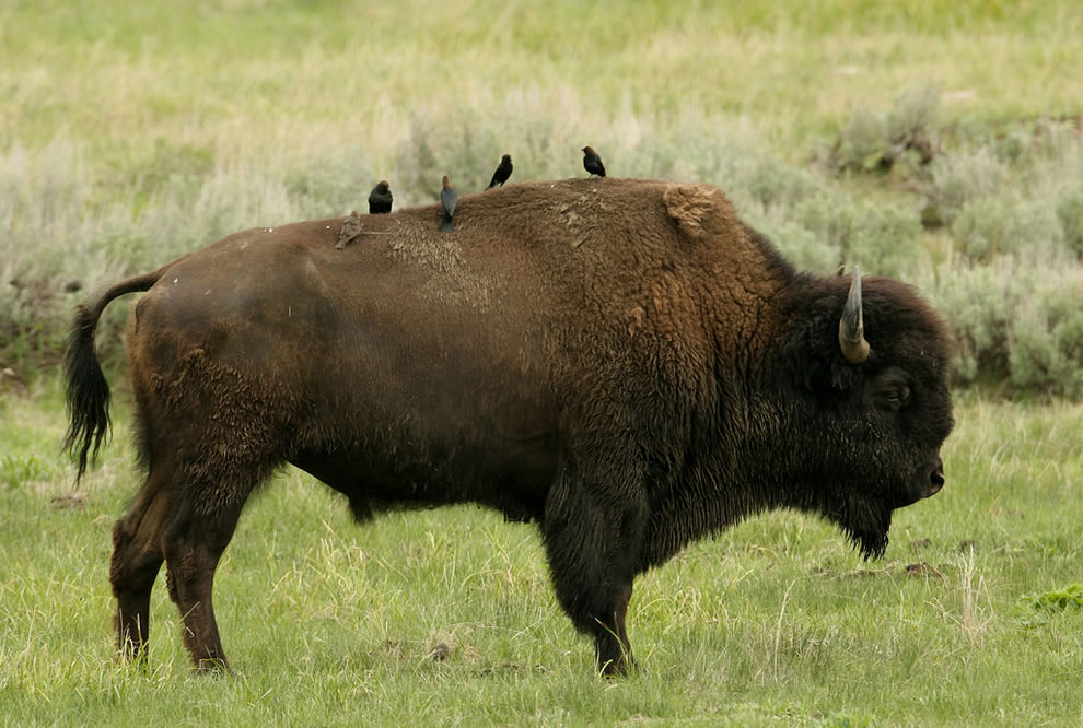 American Buffalo Traffic Jams Bison of Yellowstone
