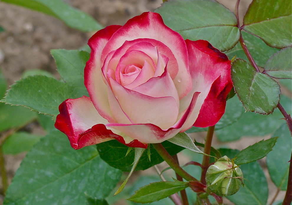 Tales of Faerie On Roses