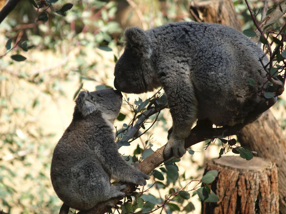 Baby koala kissing mom