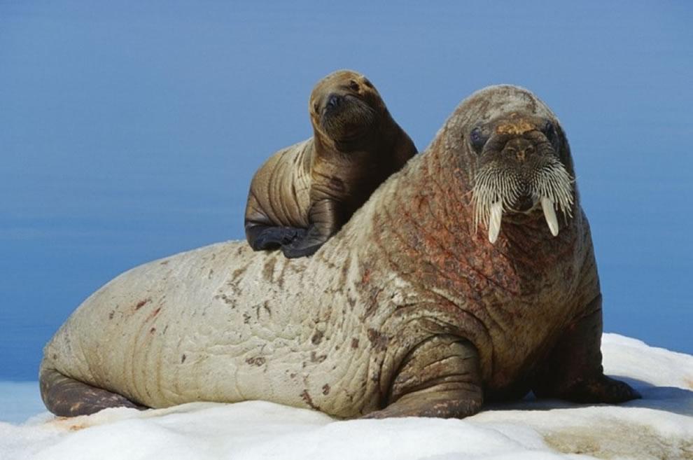 Baby walrus on mom's back