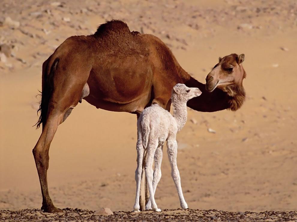 Dromedary Mom and baby camel