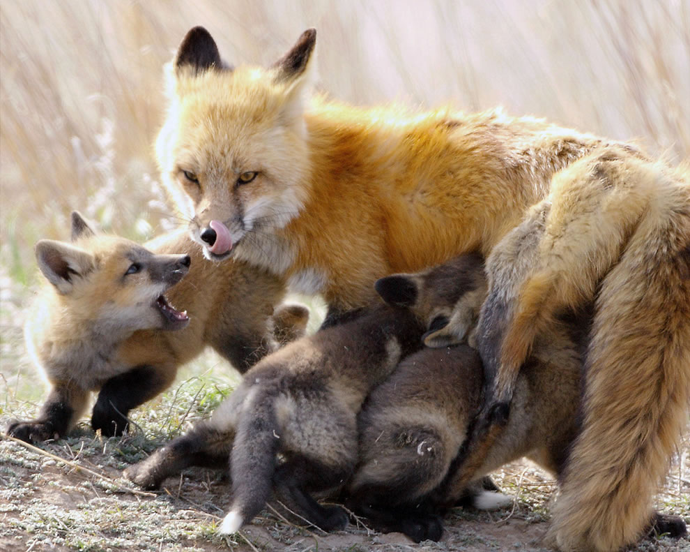 Fox and babies at feeding time